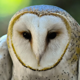 Emma-Barn Owl by Roy Walter - Animals Birds ( captivity, animals, barn owl, raptor, birds )