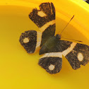 Orange-Banded Metalmark