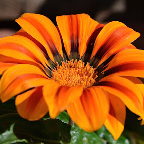 Gushing With Color by Ed Hanson - Flowers Single Flower ( orange, nature, brown, flower, close-up )