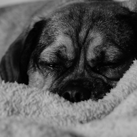 Sleepy Puggle by Jesse Peterson - Animals - Dogs Portraits ( black and white, puggle, puppy, sleeping, dog,  )
