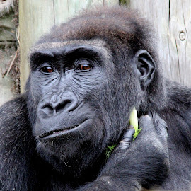 Rorilla by Ralph Harvey - Animals Other Mammals ( gorilla, wildlife, ralph harvey, bristol zoo, animal )