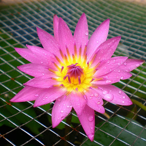 Purple Lotus  by Jo-Ann Tan - Flowers Single Flower (  )