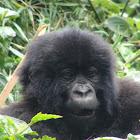 Silver back gorilla