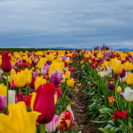 Mixed Up by Greg Wytcherley - Landscapes Prairies, Meadows & Fields ( color, farms, tulips, tractor, flower, woodburn )