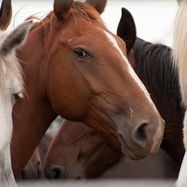 Middle of the Pack by Eva Ryan - Animals Horses ( horses, watching, pets, head, eye,  )