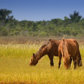 Feeding  by Cindy Hartman - Animals Horses ( wild, horses, schackleford banks, wild horses, north carolina )