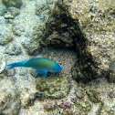 Star-Eyed Parrotfish