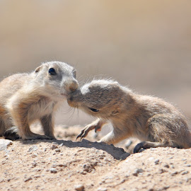 Baby Prairie Dogs by Dawn Hoehn Hagler - Animals Other Mammals ( desert museum, prairie dog, zoo, baby animal, arizona-sonora desert museum, rodent,  )