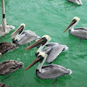 Caribbean Brown Pelican