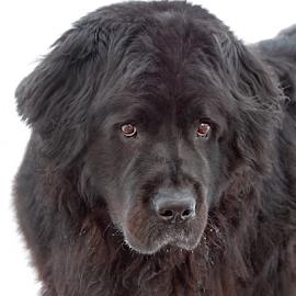 Huggable by Mia Ikonen - Animals - Dogs Portraits ( gentle, gorgeous, nwefoundland, finland, big )