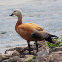 Brahmini duck(Ruddy Shelduck)