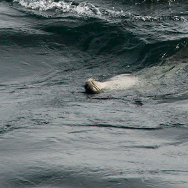 Seal  by Jenna Pettipas - Animals Sea Creatures