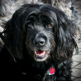 Black Dog by Nancy Merolle - Animals - Dogs Portraits ( black dog, spaniel, dog, black, animal )