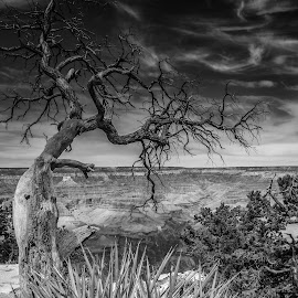 Mystic Tree by Ferruccio Galbiati - Nature Up Close Trees & Bushes ( tree, black and white, nature up close, travel photography, grand canyon )