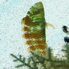 Clown Wrasse ( Juvenile)