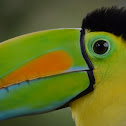 Tucan Pico Arcoiris / Keel-billed Toucan