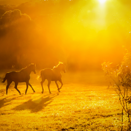Frollick in the Sunset by Gary Beresford - Animals Horses ( high country, pasture, shadow, sunset, australia, horse, brumbies )