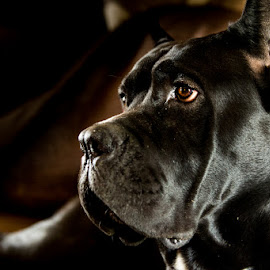 Cane Corso by Jason Longbrake - Animals - Dogs Portraits ( natural light, beautiful, cane corso, dog, portrait )