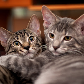Kitty Love by Michae Allen - Animals - Cats Kittens ( a sharp photo, cats, animals, michae e. allen, kittens, gray, cute )
