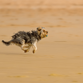 flying dog by António Leão de Sousa - Animals - Dogs Playing ( canon, sand, beaches, animals, dogs, costa de caparica, pets, run, running )