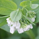 white Virginia bluebell