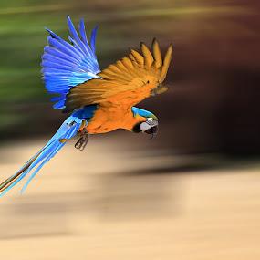 Parrot in Flight by Ceri Jones - Animals Birds ( bird, flight, flying, parrot )