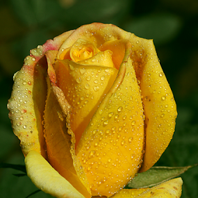 by Bharat Dudeja - Flowers Single Flower ( rose, water drops, macro, nature, yellow, droplets )