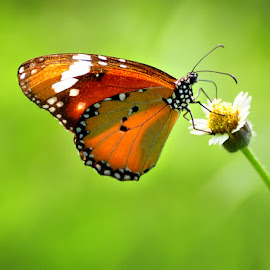Butterflay by Yunus Lee - Animals Other