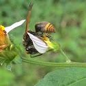 Keyhole Wasp