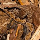 Terciopelo or Fer-de-Lance Snake
