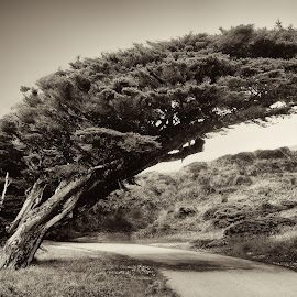 Pt. Reyes Tree by Jim Lipschutz - Landscapes Forests ( wind, wild, pt. reyes, environment, tree, california, cliff, windswept, forest )