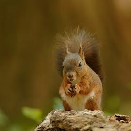 Happy goblin by Cédric Guere - Animals Other ( mammals, wild, red, nature, wildlife, woods, squirrel, animal )