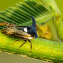 Thorn-mimic or Horned Treehopper