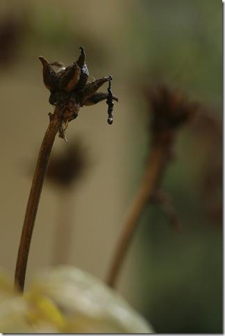 Frökapsel med häng