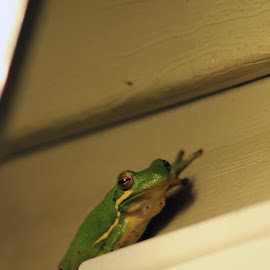 Kermit's Cousin by Patti Martin - Animals Amphibians ( tree, frog, green, amphibian )