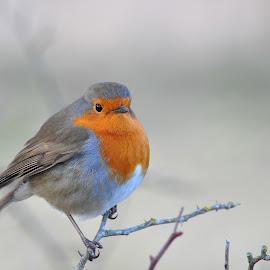 A fluffy Robin by Tony Steele - Animals Birds ( robin )