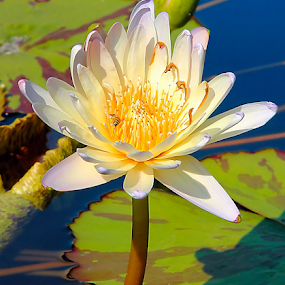 Yellow Water Lily by Steve Edwards - Flowers Single Flower ( single flower, water lily, flower )