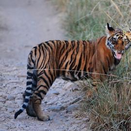 Tiger by SENTHILKUMAR KALIAPPAN - Animals Lions, Tigers & Big Cats ( nature, tiger, tigers, portrait, animal )