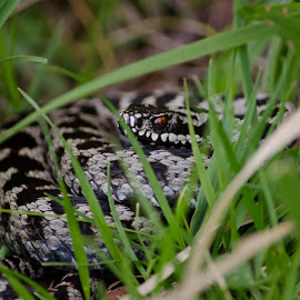 Adder by Barry Butler - Animals Reptiles (  )
