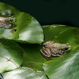 2 frogs by John Forrant - Animals Amphibians