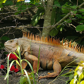 Iguana Jungle by Bridgette Rodriguez - Animals Reptiles ( reptiles, animals, iguanas, iguana, reptile, animal )
