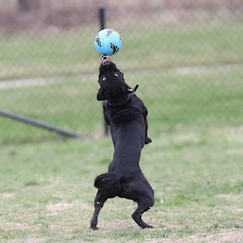 Soccer Dog by Peter Marzano - Animals - Dogs Playing