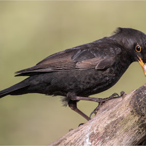 blackbird by Stephen Hooton - Animals Birds