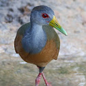 gray necked woodrail