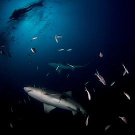Hunters in Blue by Ryan Nelson - Animals Sea Creatures ( divers, underwater photography, scuba, sharks, spearfishing )
