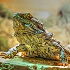 Alex by Dalibor Jud - Animals Reptiles ( vitticeps, bradata, lizard, headshot, agama, portrait, pogona )