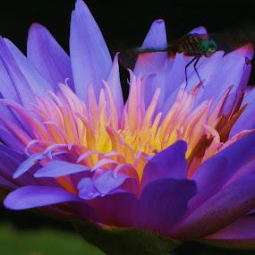 by Vijay Govender - Flowers Flower Gardens ( waterlily, violet, flower,  )