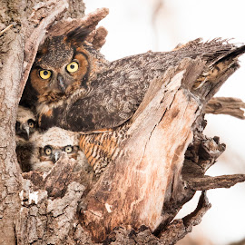 Great Horned Owl Family by Paul Kammen - Animals Birds ( bird, owllet, owl, birds, great horned owl )
