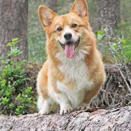King of the forest by Mia Ikonen - Animals - Dogs Portraits ( tree, beautiful, pembroke welsh corgi, finland, forest )