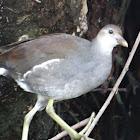 Common Gallinule (immature)
